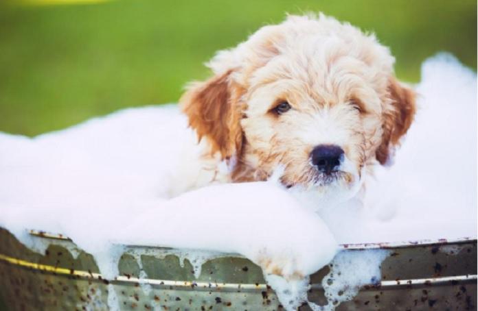 Hãy tắm cho cún cưng để bé khỏe mạnh và xinh đẹp hơn