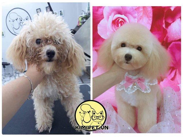 Hình ảnh cắt tóc cho chó trước và sau khi Kimi Pet thực hiện