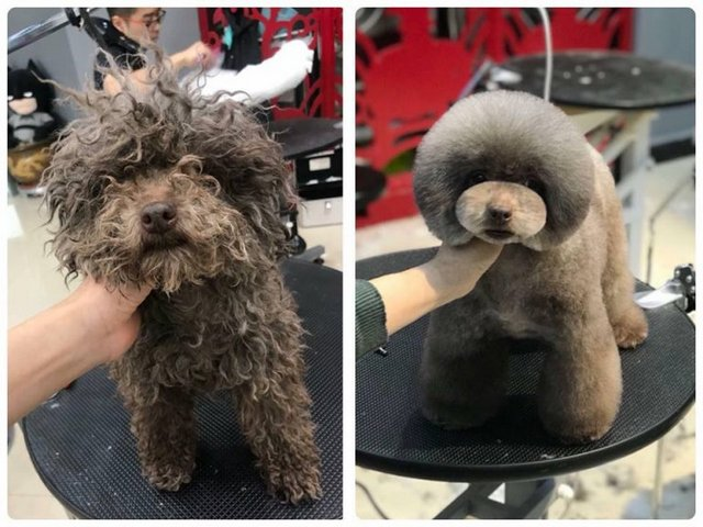 Sự thay đổi kinh ngạc của Pomeranian dưới sự chăm sóc tận tình từ Kimipet