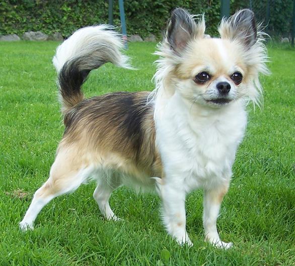 Chó Chihuahua – Giới thiệu & thông tin chi tiết về Chó Chihuahua