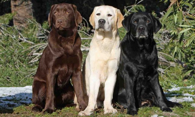 Ba màu sắc lông cơ bản của Labrador Retriever