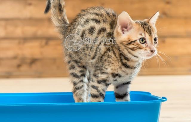 Bé mèo con Kitty đang học cách sử dụng chậu cát