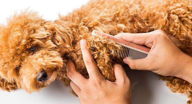 Bạn nhớ chải lông cho Poodle thật kỹ nhé