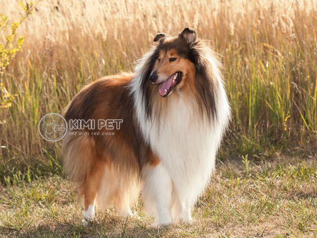 Chó thuần chủng là gì