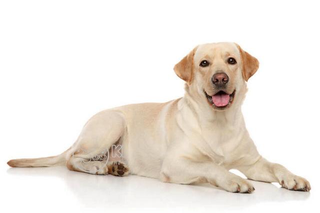 Trả lời chó tha mồi labrador giá bao nhiêu?