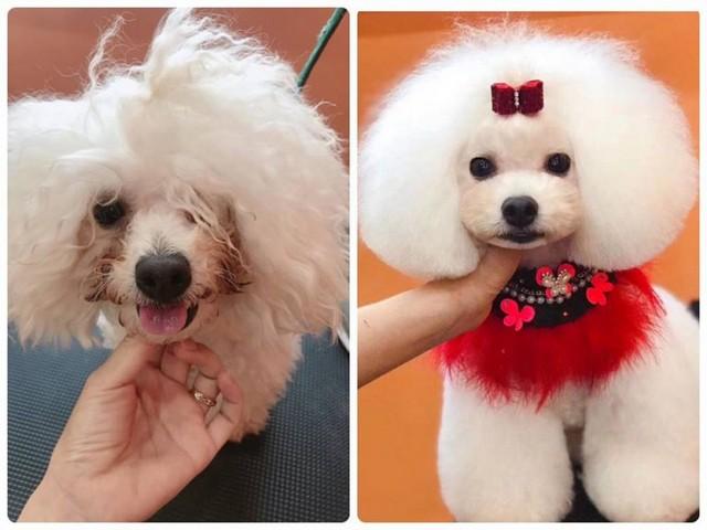 Sự khác biệt hoàn toàn của bé Poodle trước và sau khi cắt tỉa tại Kimi Pet