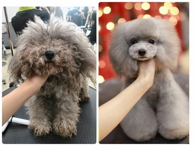 Hình ảnh Poodle trước và sau khi cắt tỉa lông tại trung tâm