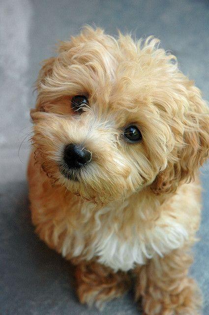 Cách cắt tỉa lông chó Poodle tại nhà mẫu Puppy Coat