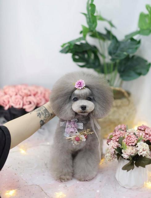 Thành quả của học viên học nghề cắt tỉa lông chó mèo