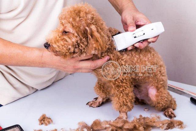 Cách cắt lông chó Poodle bằng tông đơ