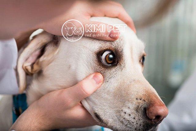 Tại sao chó bị chảy nước mắt và cách điều trị rất ít người biết