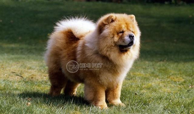 Trả lời: Chó chow chow giá bao nhiêu tiền?