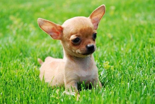 Chihuahua lọt TOP 5 chó cảnh nhỏ nhất thế giới