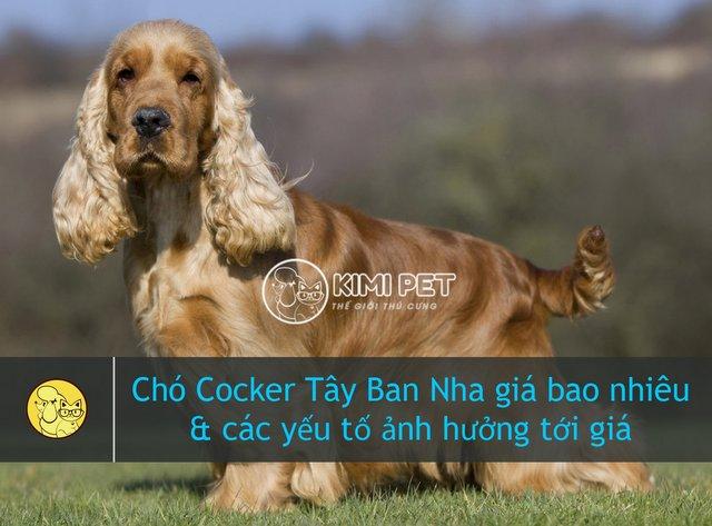 Chó Cocker Tây Ban Nha giá bao nhiêu & Những điều thú vị bạn chưa biết