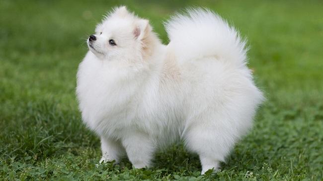 Những con chó nhỏ nhất thế giới không thể bỏ qua