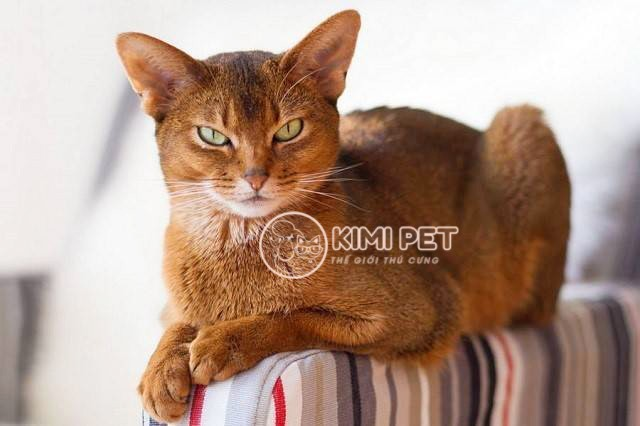 Liệt kê danh sách các giống mèo thông minh được nhiều người ưa chuộng