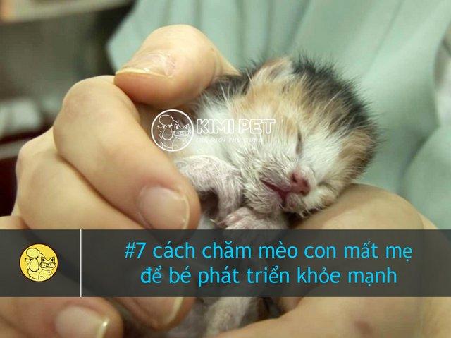Cách nuôi mèo con mới đẻ bị mất mẹ & Cách chăm mèo con mất mẹ với sữa bột