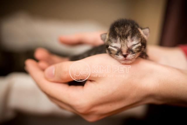 Bé mèo con được chủ nhân nâng niu, chăm sóc kỹ càng