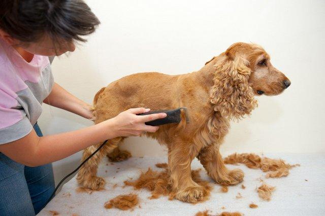 Một tay giữ thân chó và tay còn lại lướt tông đơ là tư thế chuẩn