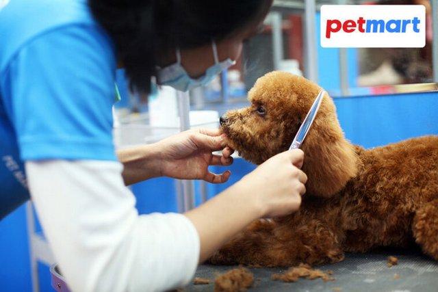 Chú chó dễ thương đang được nhân viên cắt tỉa lông tại Nội - Nguồn: petmart.vn