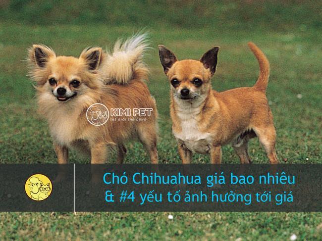 Giải đáp thắc mắc giống chó Chihuahua giá bao nhiêu?