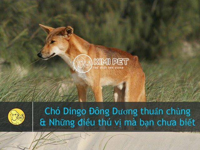 Tất tần tật về chó Dingo Đông Dương thuần chủng chưa ai biết