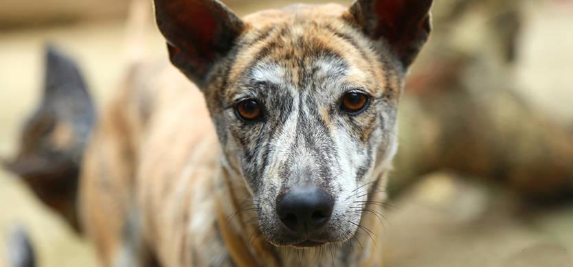 Đặc điểm chó Phú Quốc thuần chủng có gì đáng chú ý?