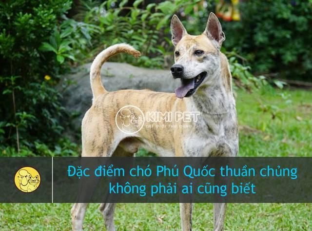 Đặc điểm chó Phú Quốc thuần chủng & #3 cách chọn chó thông minhĐặc điểm chó Phú Quốc thuần chủng & #3 cách chọn chó thông minh