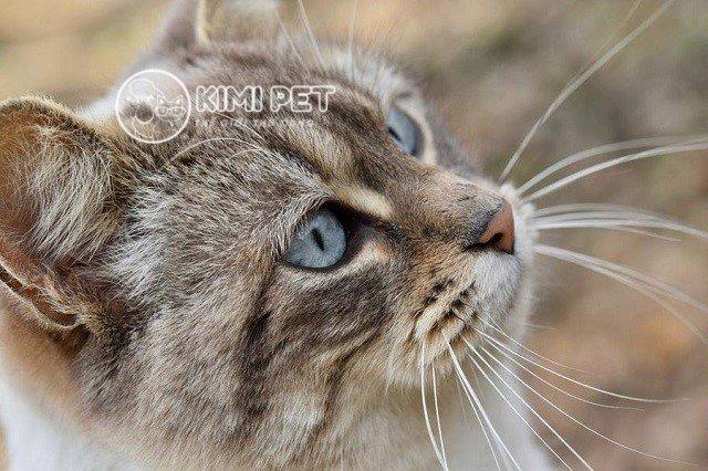 Lỡ cắt râu mèo có sao không và giải quyết hậu quả như thế nào?