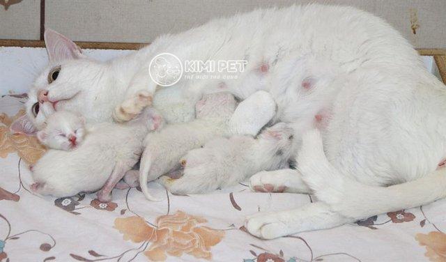 Trả lời: Mèo mang thai bao lâu thì đẻ? Mèo chửa bao nhiêu ngày thì đẻ?
