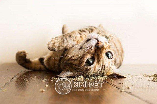 Cỏ mèo có tác dụng gì và những lưu ý quan trọng mà chủ nhân cần biết