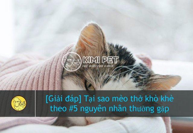 Tại sao có hiện tượng mèo thở khò khè khiến bé mệt mỏi?