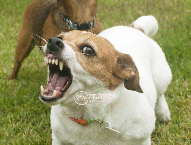 Chú chó hung dữ sủa liên tục
