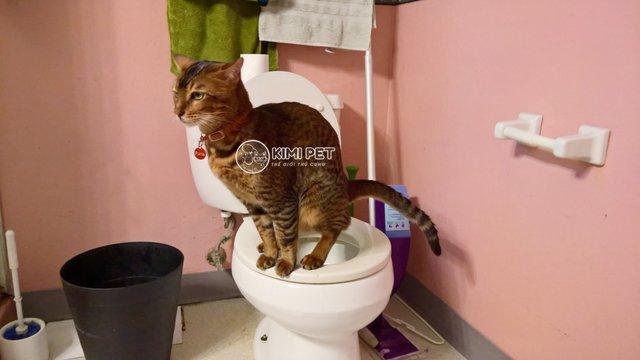 Cách dạy mèo đi vệ sinh ở bồn cầu