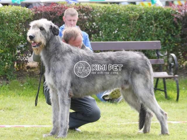 Những con chó khổng lồ nhất thế giới mà bạn chưa biết tới