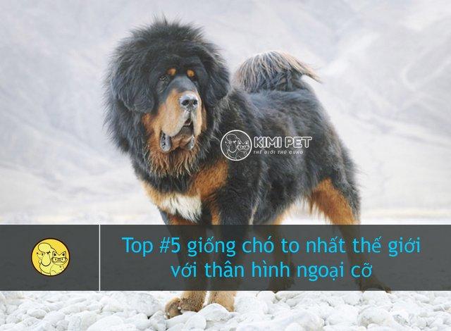 Tibetan Mastiff - TOP các loại chó to nhất thế giới