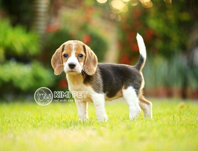 5 nhân tố quyết định giá của một bé Beagle