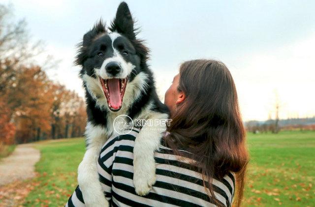 Border Collie là một trong những giống chó được nuôi phổ biến tại châu Âu