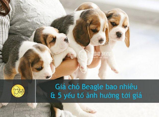 Những chú chó Beagle con đáng yêu