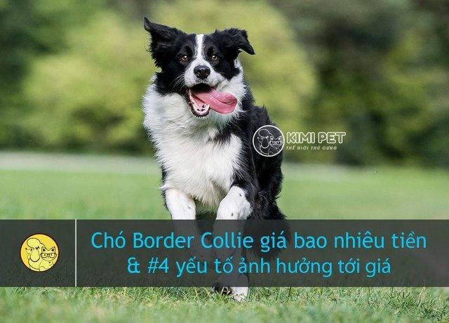 Chú chó Border Collie sải bước trên bãi cỏ