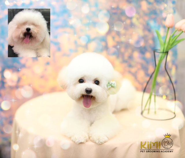 Hình ảnh Poodle đáng yêu trước và sau cắt tỉa