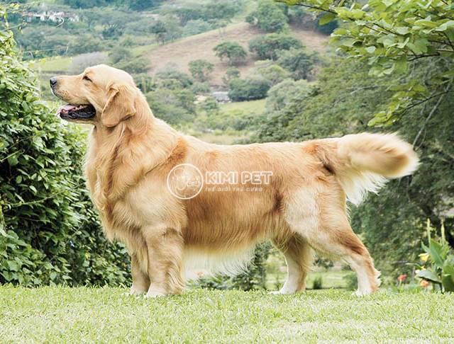 Tiết lộ giống chó Golden giá bao nhiêu tiền